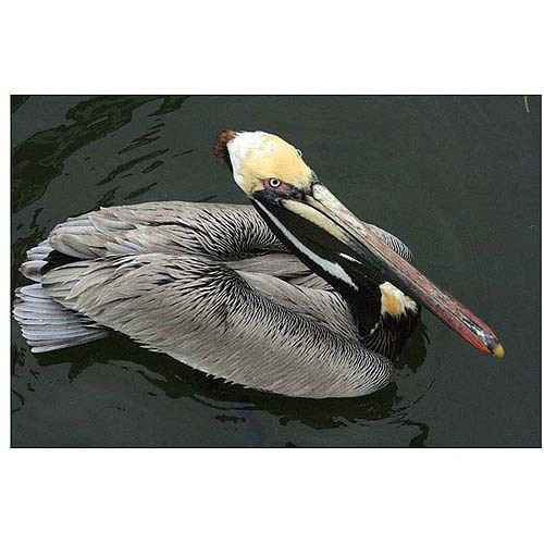 Trademark-Fine-Art-034-Pelican-Beauty-034-Canvas-Art-by-Patty-Tuggle-Shipping-is-Free